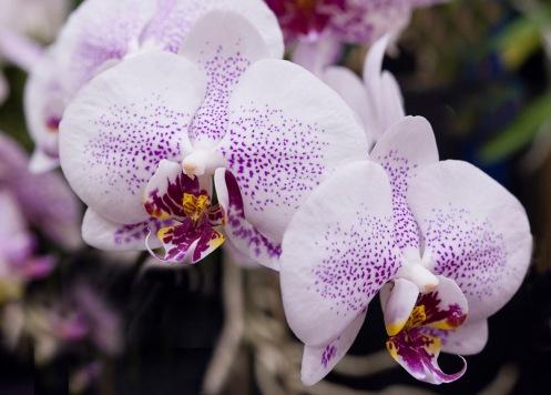 Orchids-