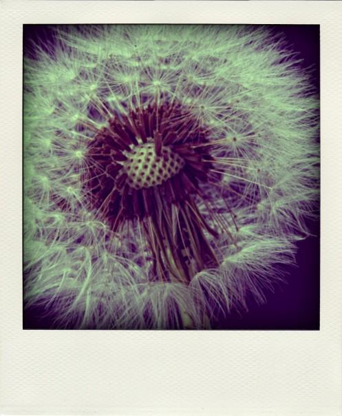 Dandelion (1 of 1)-pola