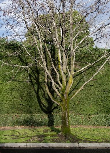 Plane Tree Toorak